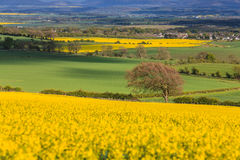 Landscape with tree in a field of rapeseed Royalty Free Stock Photos