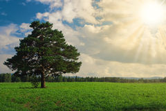 Landscape  tree on the field under blue sky Royalty Free Stock Photo