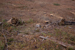 Landscape of tree stumps in harvested pine forest Stock Images