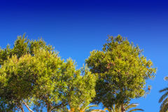 Landscape, tree tops of pine trees and palm trees. On mediterranean sea in Majorca in Spain against blue sky Stock Photos