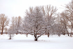 Landscape of trees. In snow Royalty Free Stock Image