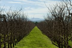 Landscape with trees in an orchard Royalty Free Stock Image
