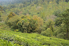 Landscape of trees and tea plantations Royalty Free Stock Images