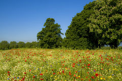Landscape with trees and wild flowers. Landscape view of park with colourful wild flower meadow, Richmond, London Stock Photo