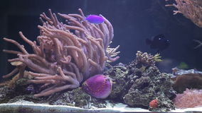Landscape with tropical fishes and corals. Close up aquarium stock video footage