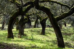 Landscape with trunks of holm oaks trees Stock Photography