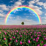 Landscape with tulip field and rainbow. Beautiful spring landscape with big tulip field and rainbow, lonely tree on horizon stock photography