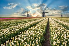 Landscape with tulip fields and windmill. Traditional landscape with tulip fields and windmill, beautiful spring flowers and majestic sky Stock Photo