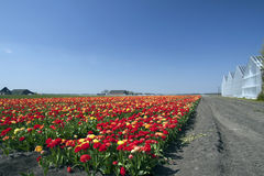 Landscape with tulips in the background a greenhouse Stock Photo
