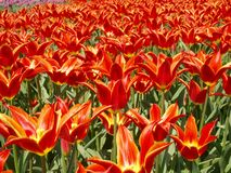 Landscape with tulips. Beautiful, red variety of tulips in the spring sunshine Royalty Free Stock Images
