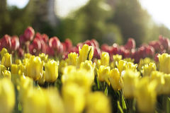 Tulips on blur background. Landscape of tulips on blur background Royalty Free Stock Photography