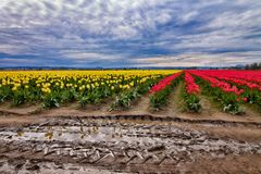 Landscape of Tulips within Skagit Valley Stock Image