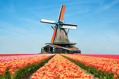 Landscape of tulips and windmills in the Netherlands. Stock Photography