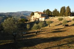 Landscape of Tuscan countryside. typical farm house in Tuscany with olive trees, cypress and cows. Italy Stock Images
