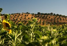 Landscape Tuscany, Italy. Sunflower fields and orchards somewhere in Tuscany Royalty Free Stock Photography