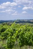 Landscape in Tuscany, Italy. Typical landscape with vineyards in Tuscany, Italy, Europe Royalty Free Stock Photography