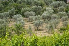Landscape in Tuscany, Italy. Typical landscape with vineyards and olive trees in Tuscany, Italy, Europe Royalty Free Stock Photo