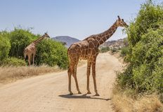 Landscape with two reticulated giraffes, giraffa camelopardalis reticulata, eating shrubs on dirt road in northern Kenya stock photos