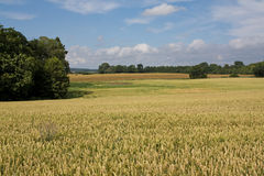 Landscape with typical golden wheat Stock Images