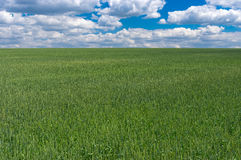 Landscape with unripe organic wheat fields in central Ukraine Royalty Free Stock Images