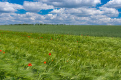 Landscape with unripe wheat fields and wild poppies in Ukraine Royalty Free Stock Image