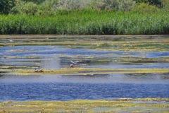 Landscape in delta Vacaresti Nature Park - Common tern - landmark attraction in Bucharest, Romania Royalty Free Stock Image