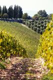 Landscape with valleys of Tuscanian vineyard in Italy. Autumn landscape of vineyard valleys. Italian region-Tuscany. Colored vibrant outdoors vertical filtered royalty free stock photography