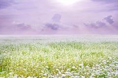 Landscape of vanila sky with beautiful buckwheat fileds Stock Images