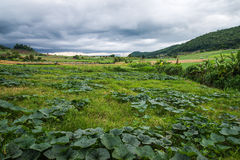 Landscape of vegetable field Royalty Free Stock Photography