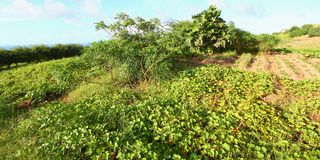 Saint Kitts Caribbean Agriculture Stock Photos