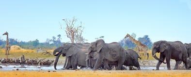 Landscape of a vibrant waterhole with elephants and giraffes in Hwange National Park, Zimbabwe stock image