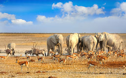 Landscape of a vibrant waterhole in Etosha. A busy waterhole in Etosha National Park with Elephants, Impala and Springbok with a bright blue cloudy sky Royalty Free Stock Images