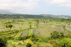 Landscape view of Asian rice farms with workers and houses Royalty Free Stock Photography