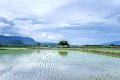 Landscape View Of Beautiful Paddy Field Rice Plantation royalty free stock image