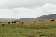 A landscape view of Belted Galloway Cows grazing in a meadow in the moors of Durham, UK. stock images