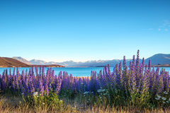 Landscape view of blooming flowers and Lake Tekapo mountains, NZ Royalty Free Stock Photography