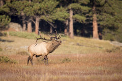 Landscape View of bugling Elk Royalty Free Stock Photo