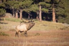 Landscape View of bugling Elk. Landscape View of Massive Bull Elk Bugling in Meadow Royalty Free Stock Photo