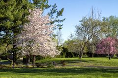 Landscape  view of Cherry tree in full blossom early morning sun shining on it. Landscape view of a large tall cherry tree in full bloom early spring.  View of stock photo