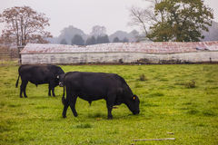 Landscape view of a cow farm ranch in fog Stock Photography