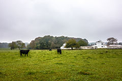 Landscape view of a cow farm ranch in fog Royalty Free Stock Images