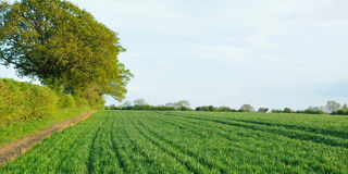 Landscape View of Crops on Farmland. In Rural Wiltshire in England Stock Image