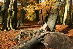 A landscape view of an adorable English Springer Spaniel Dog having fun in a Forest in the UK in autumn. royalty free stock photography