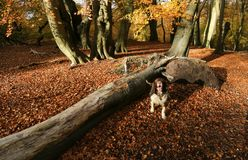A landscape view of an adorable English Springer Spaniel Dog having fun in a Forest in the UK in autumn. royalty free stock image