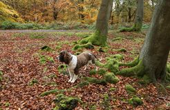 A landscape view of an adorable English Springer Spaniel Dog having fun in a Forest in the UK in autumn. stock images