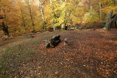 A landscape view of an adorable English Springer Spaniel Dog having fun in a Forest in the UK in autumn. stock photos