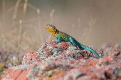 Landscape view of eastern collared lizard Stock Image