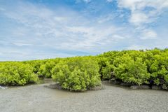 Landscape view of ebb tide time of Mangrove forest and blue sky, Nature outdoor.  stock photography