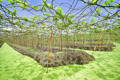 Landscape View of Floating Vineyard in Thailand Royalty Free Stock Photos