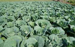 Green cabbage. Landscape view of a freshly growing cabbage field Royalty Free Stock Photo
